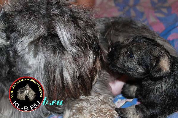 female puppy of miniature schnauzer p/s 1371458610