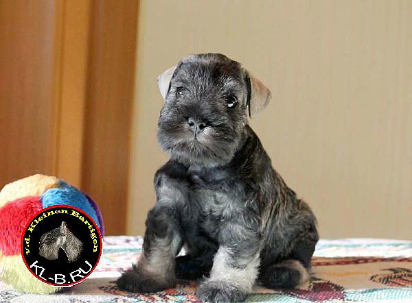 female puppy of miniature schnauzer p/s 1371582173