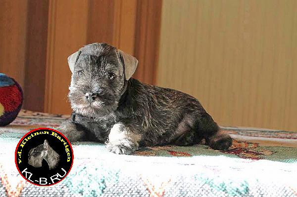 female puppy of miniature schnauzer p/s 1371582186